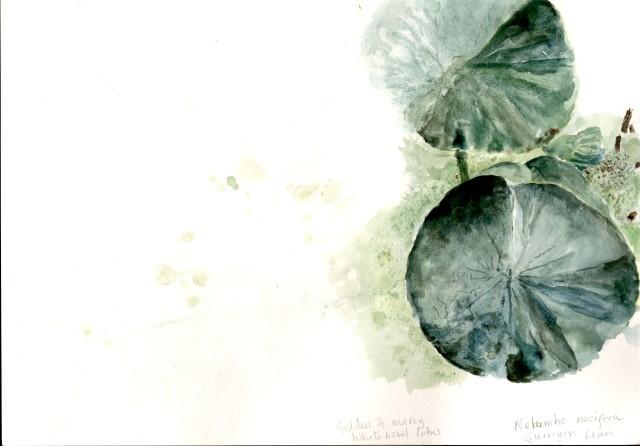Nelumbo nucifera, Goddess of Mercy Whitebowl Lotus